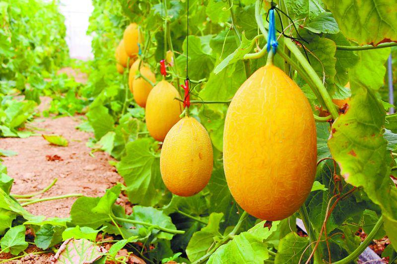 老挝种出的第一个哈密瓜竟是来自广西的品种